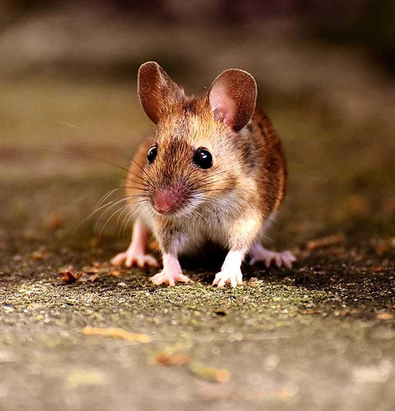Rat-Img