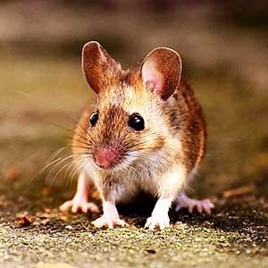 mice-rat