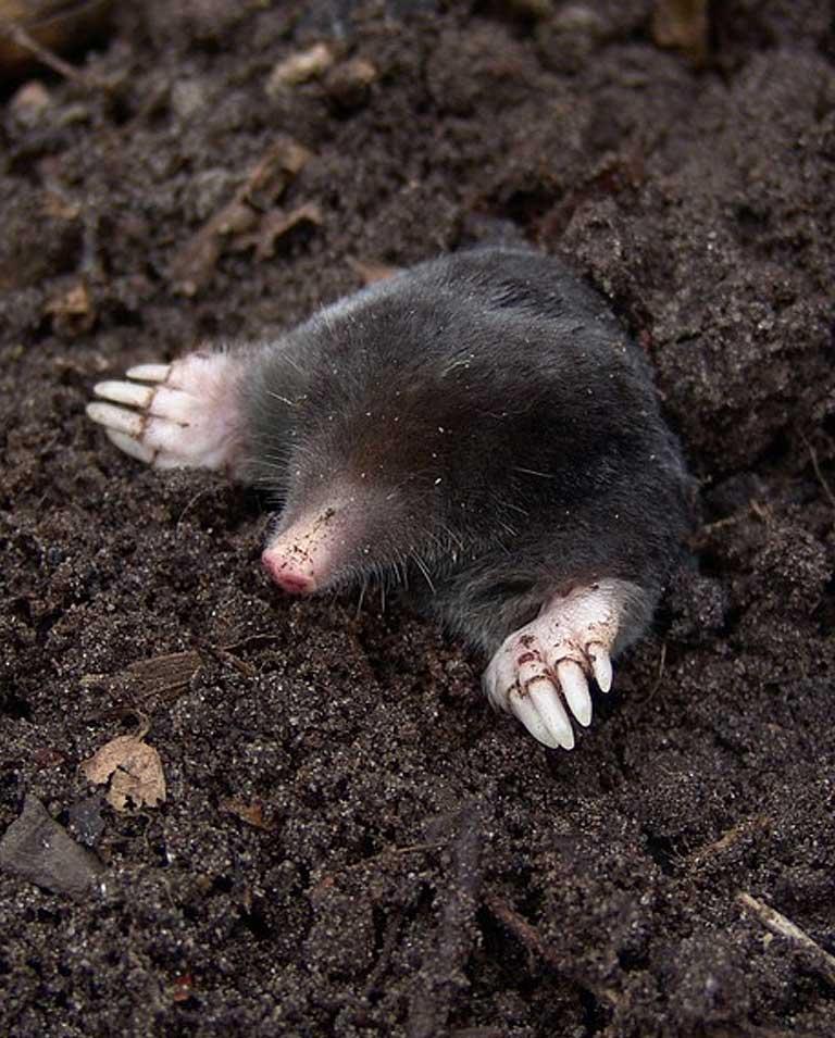 mole-img