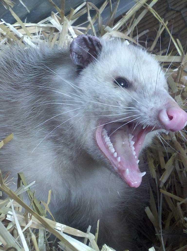 opossum-img