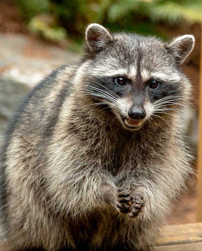 raccoon-img
