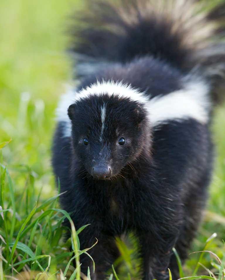 skunk-img
